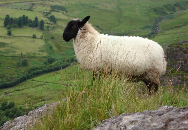 IRLANDA, pecora